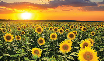 Sunflowers at sunset in Kansas